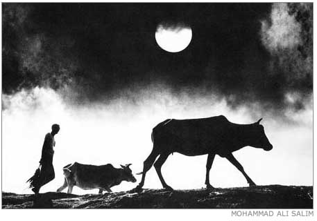 Moon and cow by Mohammad Ali Salim